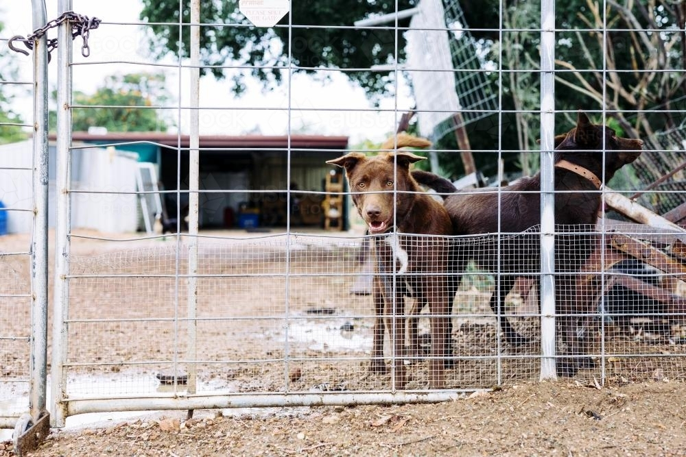Outdoor brown dogs in fenced area - Australian Stock Image