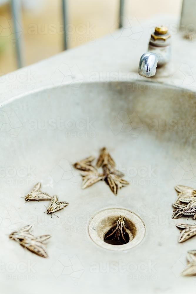 Outdoor sink filled with moths and insects - Australian Stock Image