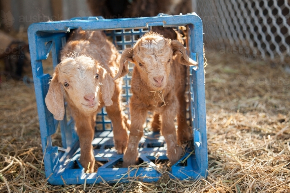 Pair of twin baby goat in blue crate on farm - Australian Stock Image
