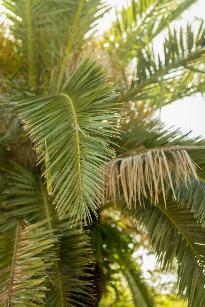 palm tree frond - Australian Stock Image