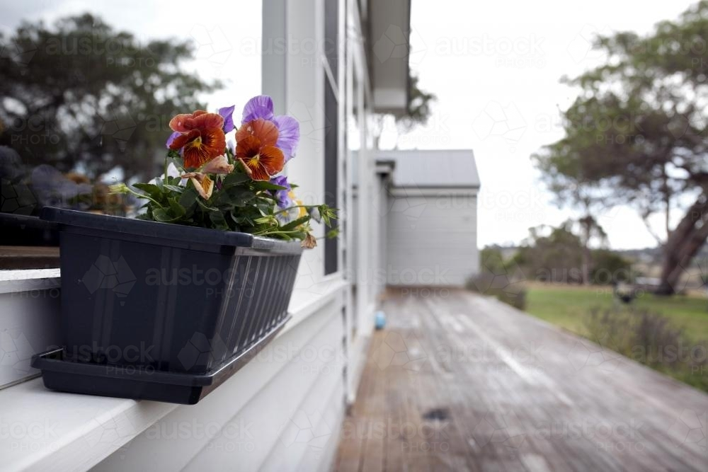Pansies growing outside in a planter box on windowsill - Australian Stock Image