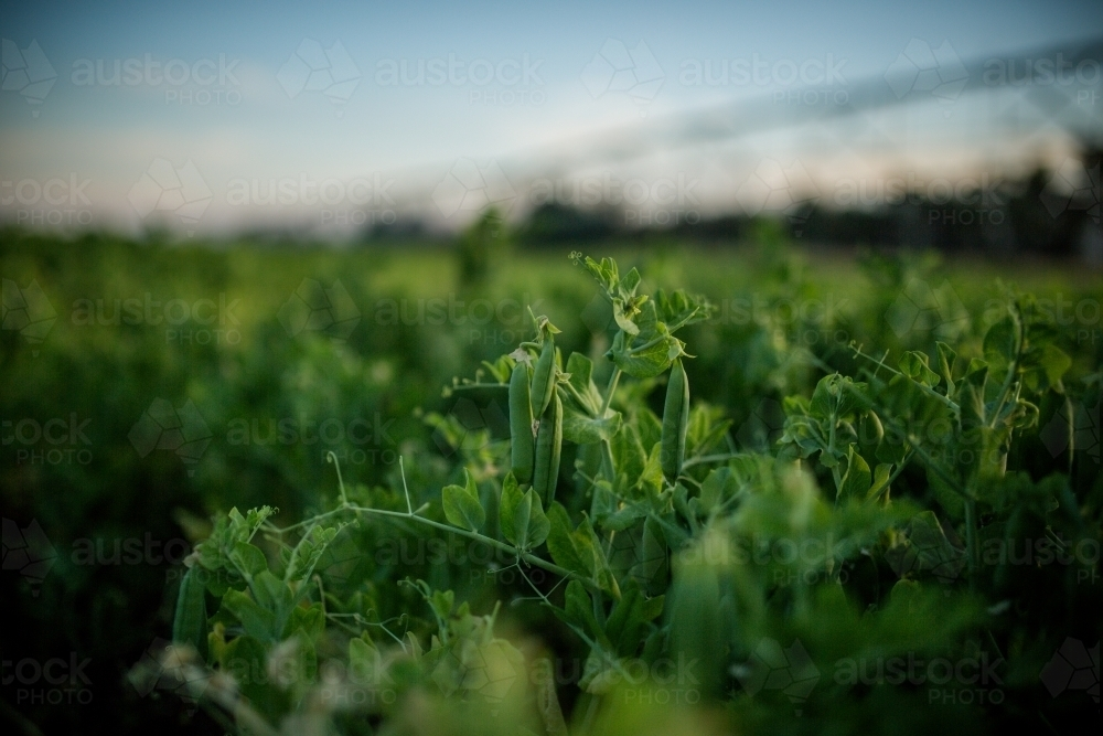 Peas Growing in paddock - Australian Stock Image