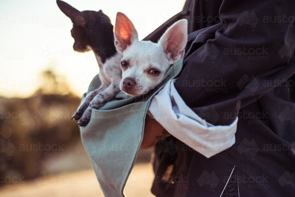 Person holding chihuahua dogs - Australian Stock Image