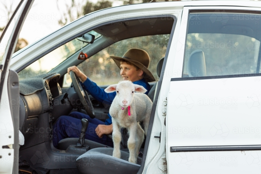 pet lamb in a car with child - Australian Stock Image