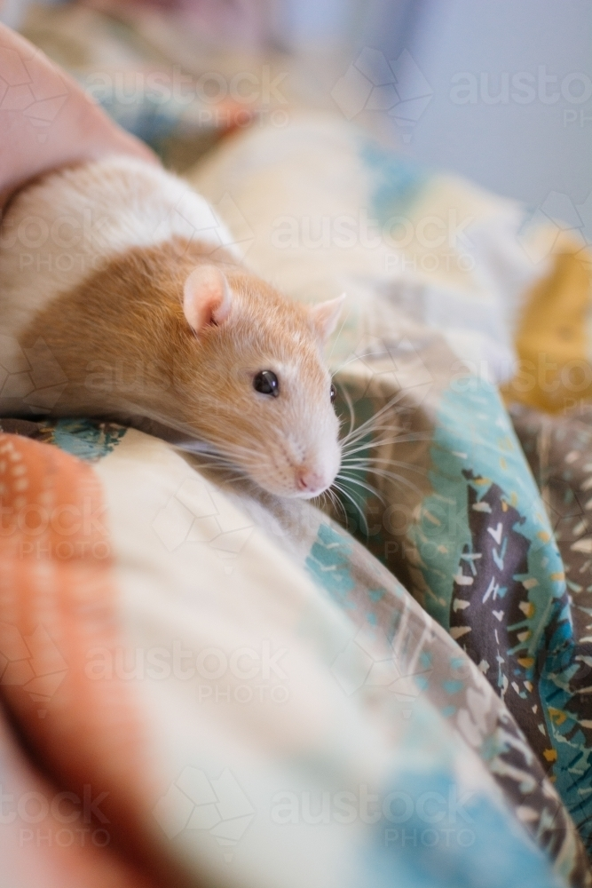 Pet rat exploring blankets - Australian Stock Image