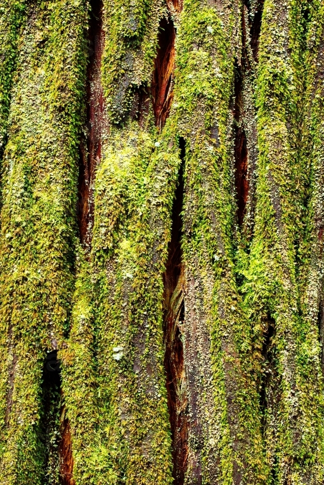 Pine (conifer) tree trunk native to Tasmania covered in moss - Australian Stock Image