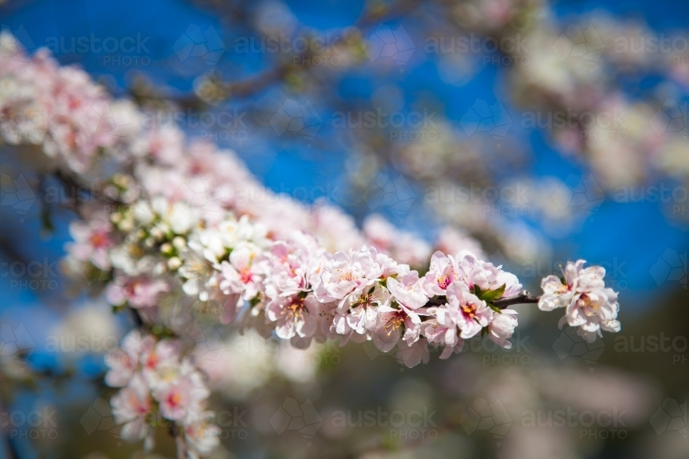Pink and white spring blossoms against blue sky - Australian Stock Image