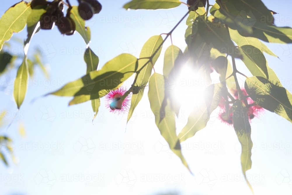 Pink flowering corymbia gum tree with sun flare - Australian Stock Image