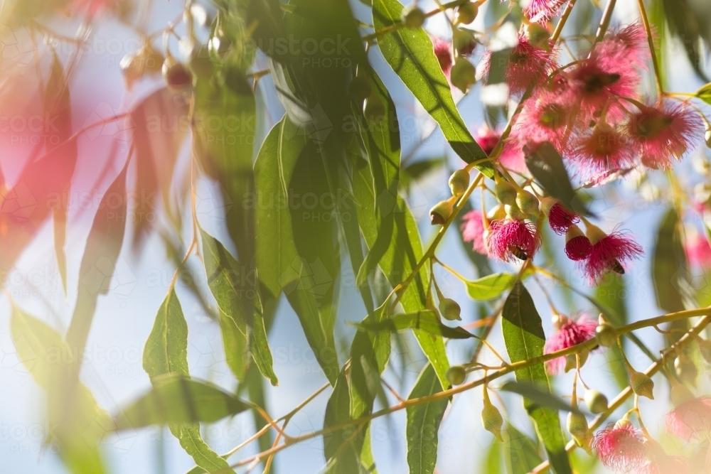 Image of pink flowering gum tree austockphoto pink flowering gum tree australian stock image mightylinksfo