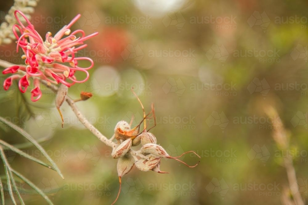 Pink grevillea flowers and seeds on a bush in the garden - Australian Stock Image