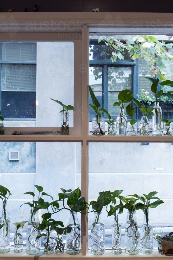 Plants in glass bottles on windowsill - Australian Stock Image