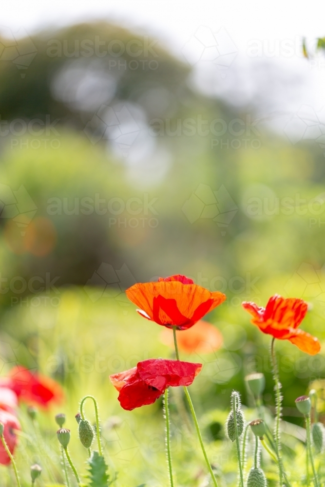 Poppies - Australian Stock Image