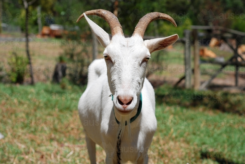 Portrait of a white male goat with large horns - Australian Stock Image