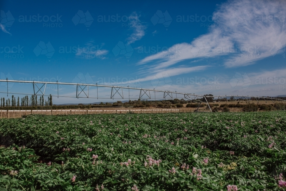 Potatoes growing in paddock - Australian Stock Image