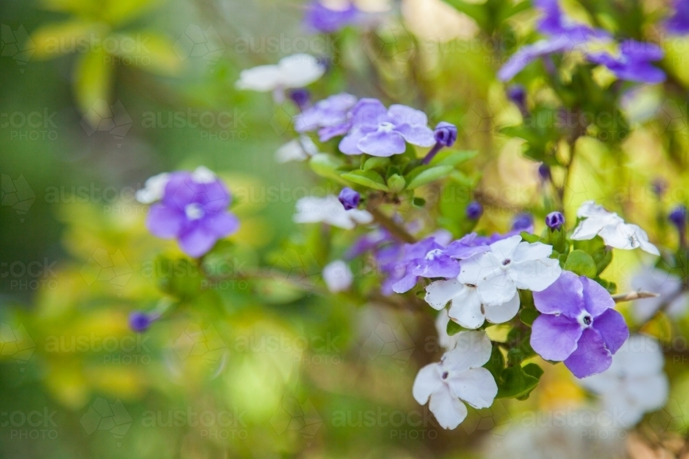 Image of purple and white flowers of yesterday today tomorrow plant purple and white flowers of yesterday today tomorrow plant australian stock image mightylinksfo