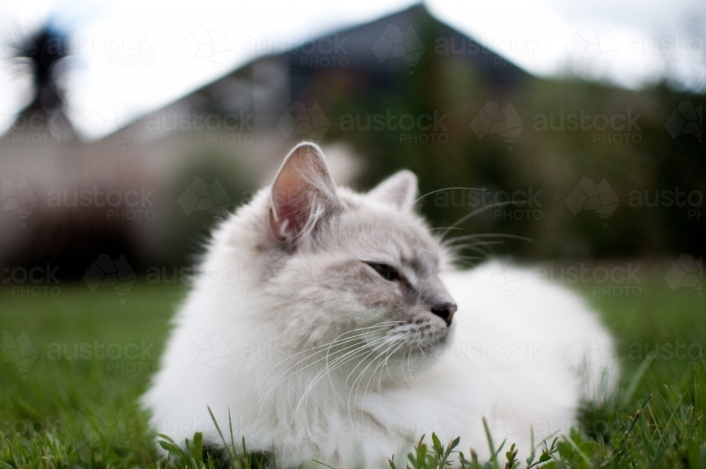 Ragdoll cat resting in the grass - Australian Stock Image