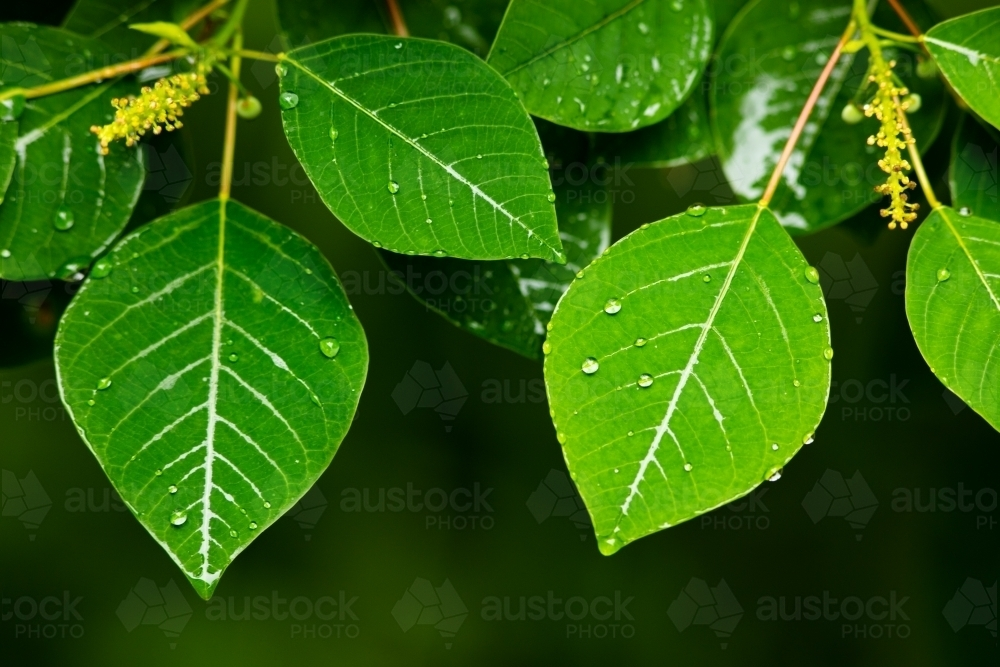 Raindrops beading on the surface of green soft leaves. - Australian Stock Image