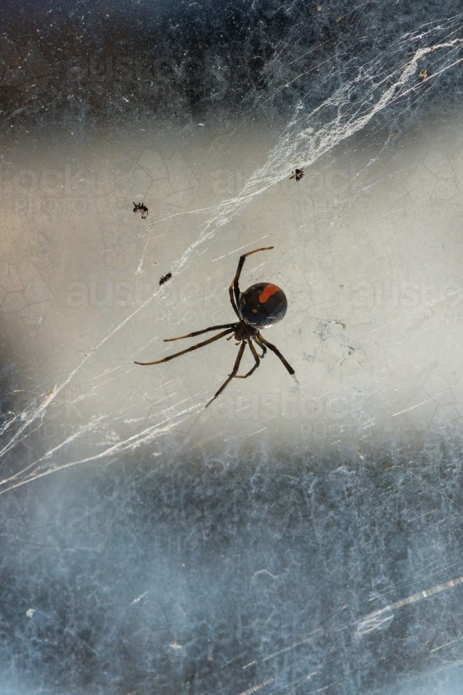 Red back spider with messy web - Australian Stock Image