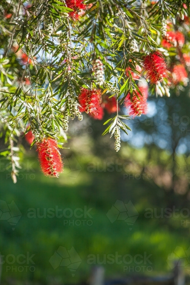 Red bottlebrush flowers hanging from a bush - Australian Stock Image