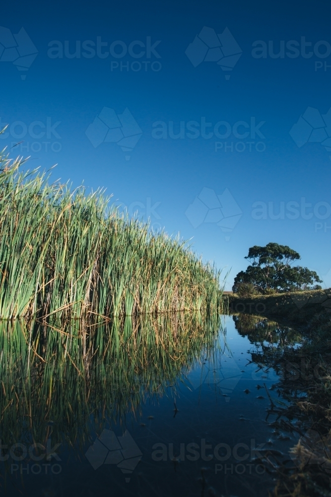 Reeds growing beside a still river on a clear blue sky day - Australian Stock Image