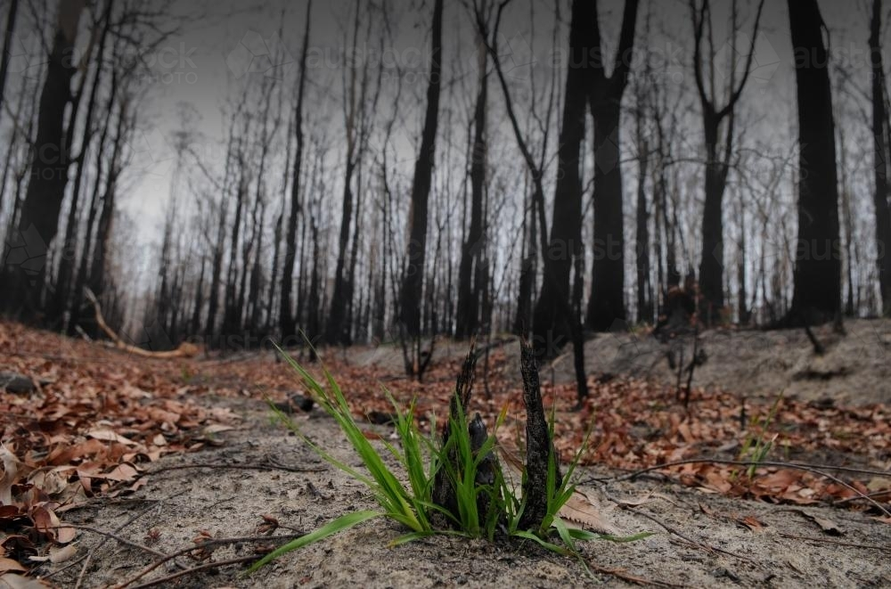 Regrowth after the bushfire - Australian Stock Image