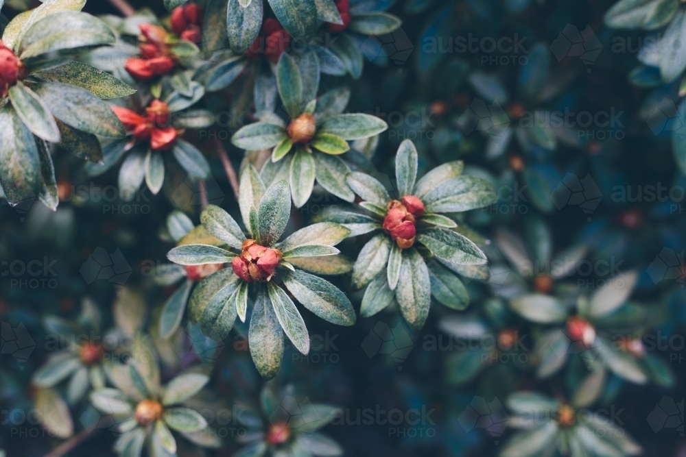 Rhododendron plants almost blooming with dark green leaves in the background - Australian Stock Image