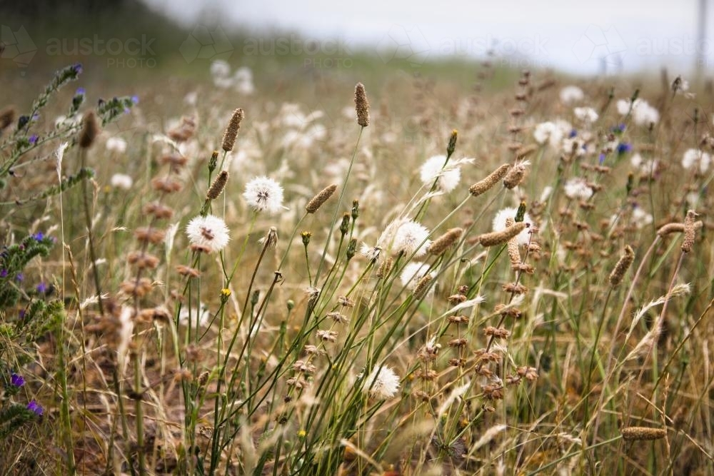 roadside grasses including dandelions - Australian Stock Image
