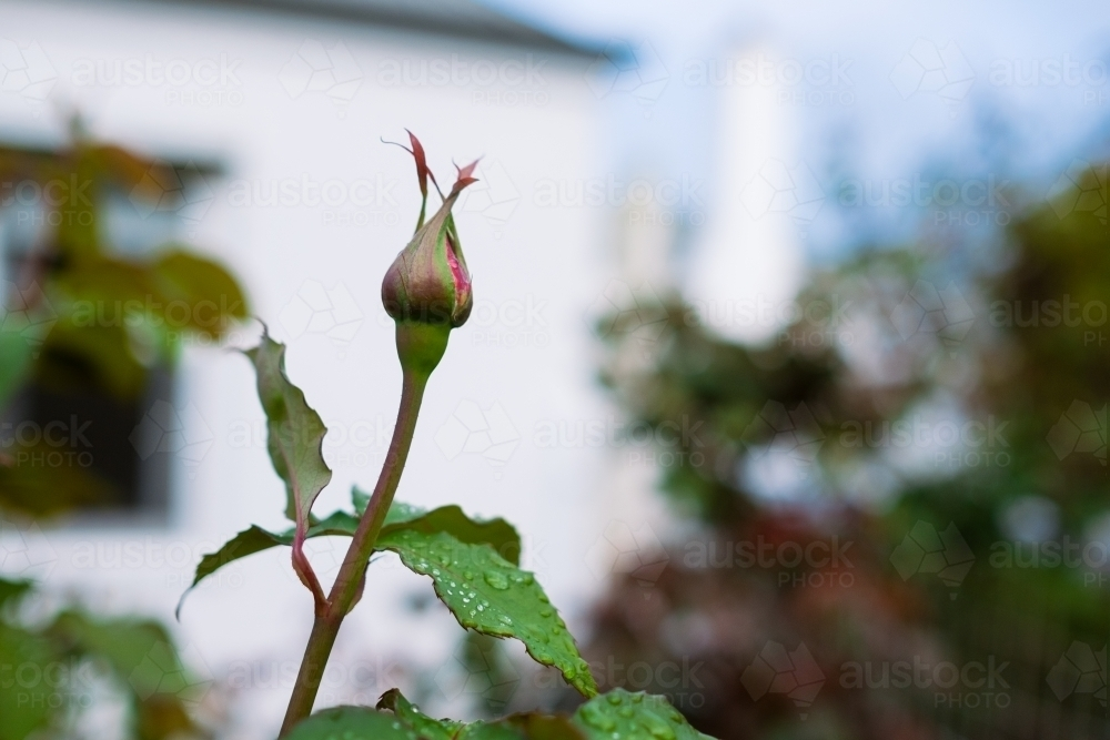 Rose bush bud about to bloom - Australian Stock Image