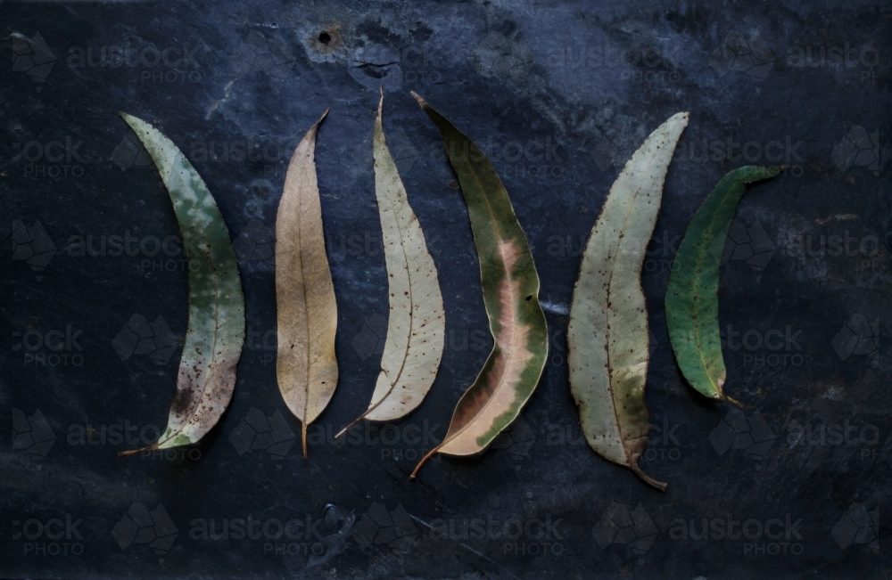 Row of leaves on a black background - Australian Stock Image