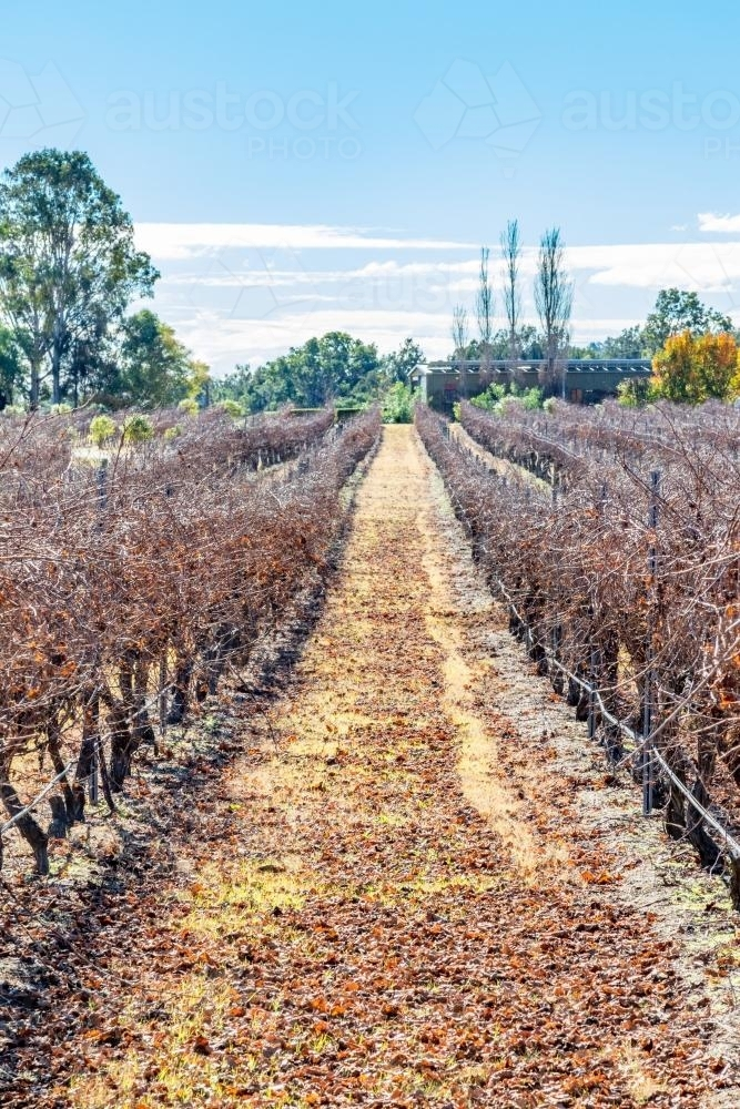Rows of grapevines at vineyard - Australian Stock Image