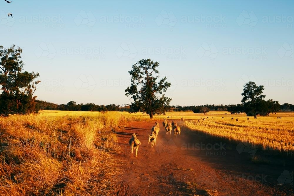Running sheep on a farm - Australian Stock Image