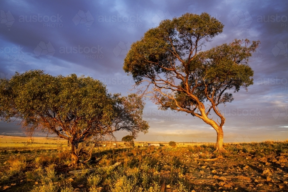 Scrubby gum trees lit by golden afternoon light - Australian Stock Image