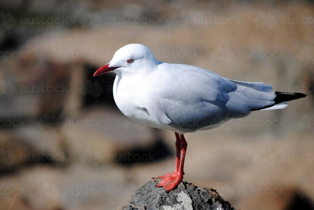 Seagull standing on a rock - Australian Stock Image