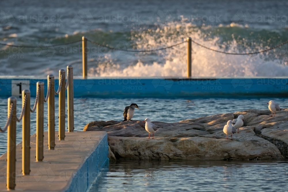 Seagulls and Cormorant sitting on rocks at a Sydney ocean pool - Australian Stock Image