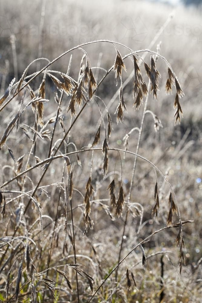 seed heads and grasses covered in frost during winter - Australian Stock Image