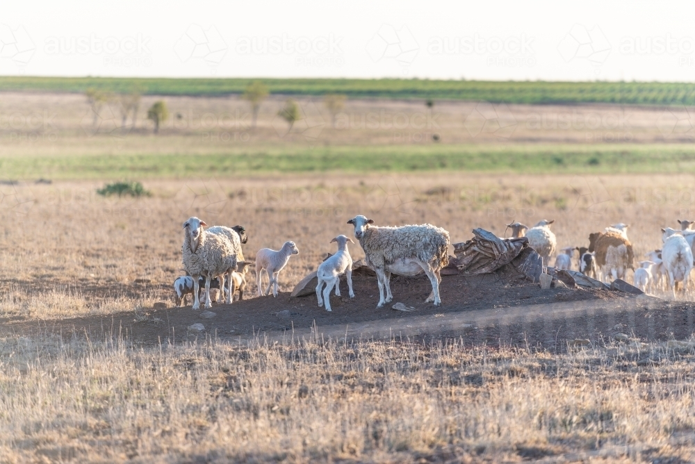 Sheep in drought country - Australian Stock Image