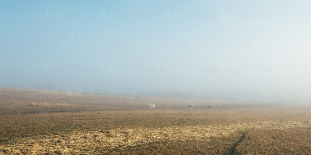 Sheep in the distance in a large paddock - Australian Stock Image