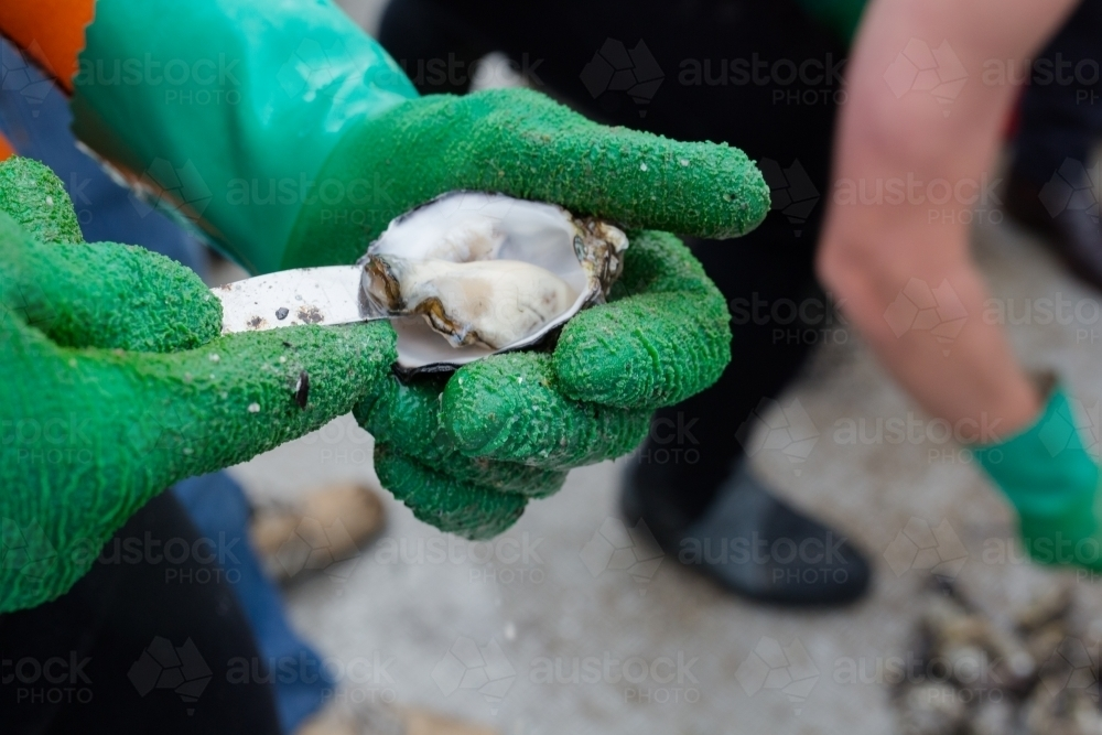 Shucking a fresh oyster on an oyster boat - Australian Stock Image