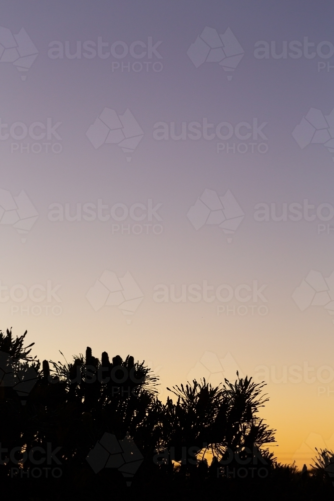 Silhouette of banksia tree at dusk with lots of sky - Australian Stock Image