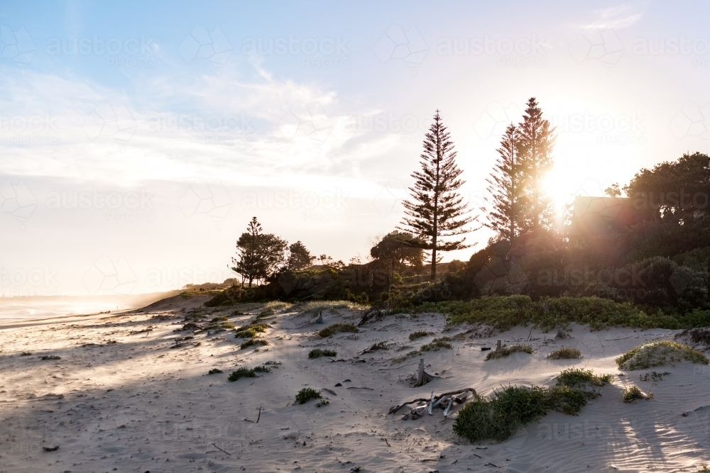 Silhouettes of Pine Trees standing tall as the warm afternoon sun shines through on the sandy beach - Australian Stock Image