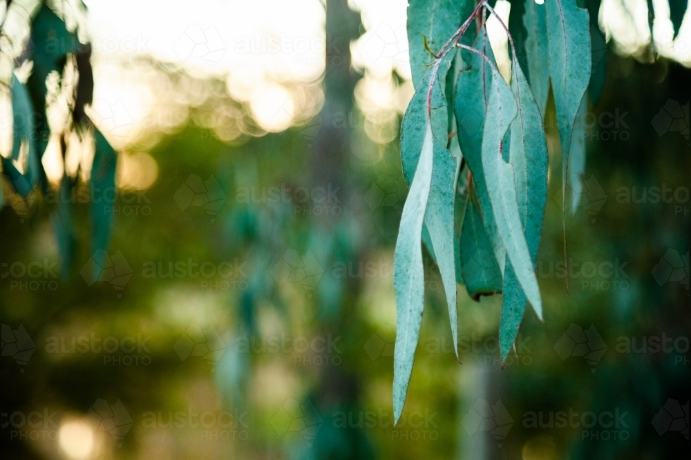 Silver blue gum leaves close up with bokeh - Australian Stock Image