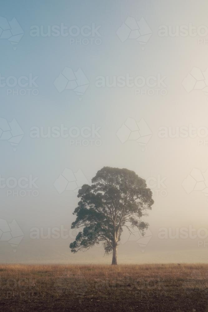 Single large gum tree in morning fog - Australian Stock Image