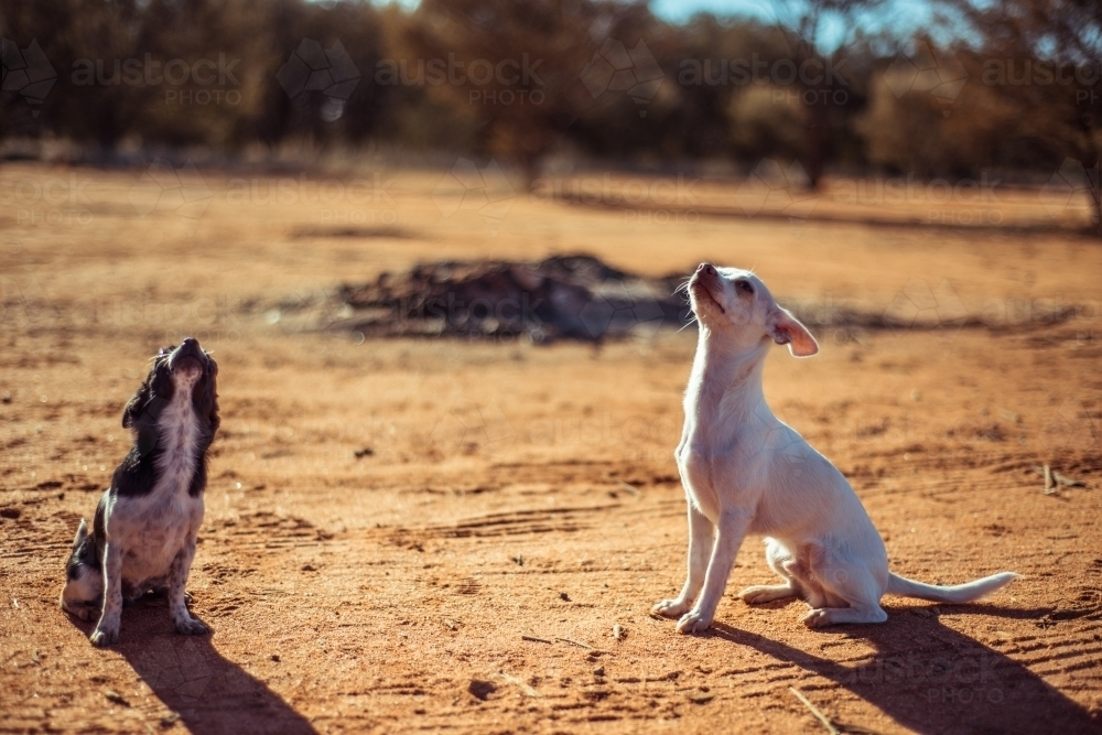 Small chihuahua dogs siting on dirt - Australian Stock Image
