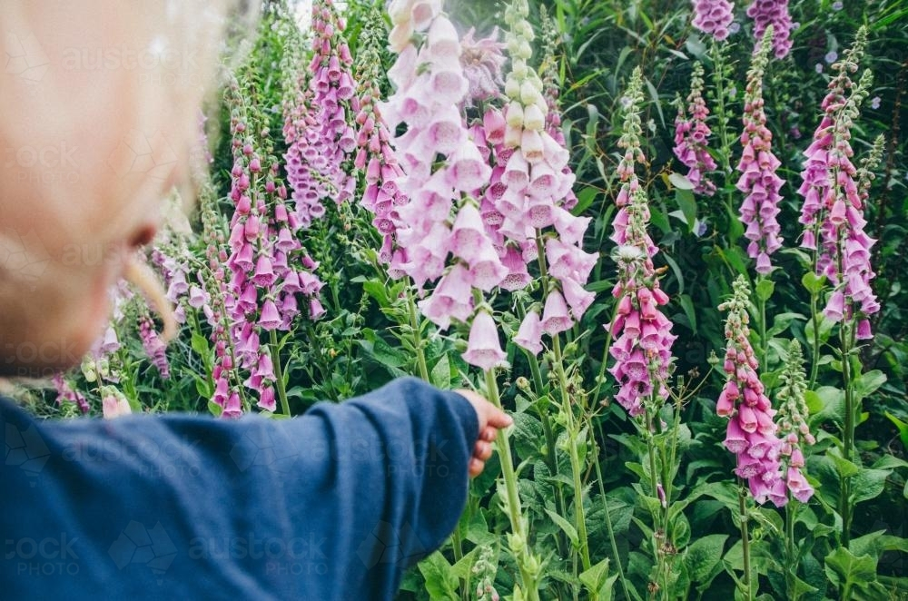 Small child reaching for foxglove flower - Australian Stock Image