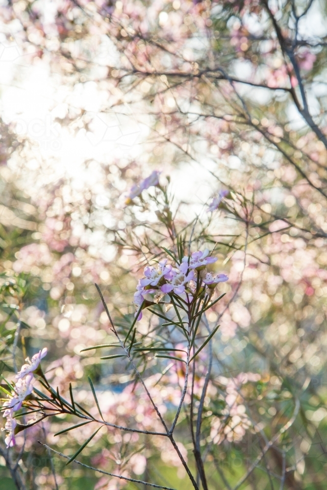 Small pink flowers on a geraldton wax bush in the sunlight - Australian Stock Image