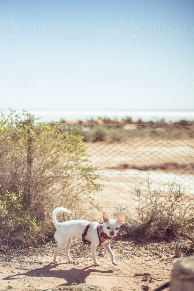 Small white chihuahua dog with lead harness outside - Australian Stock Image