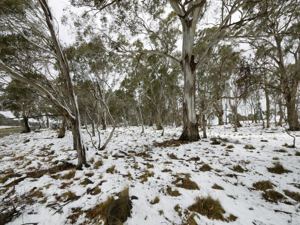 Snow covered ground under gum trees - Australian Stock Image