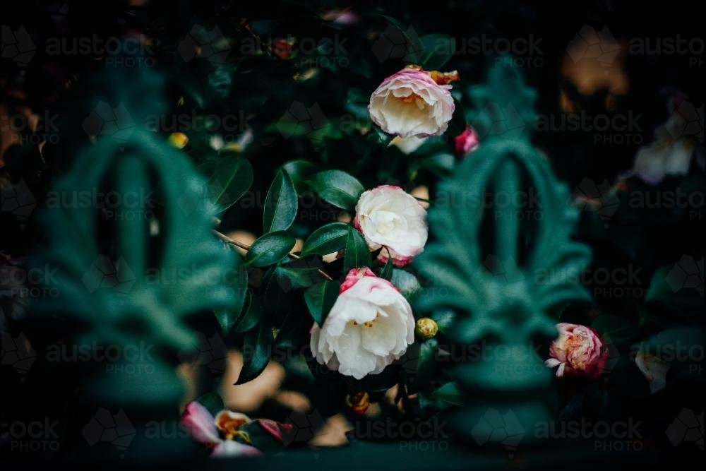 Soft pink flowers behind green fence - Australian Stock Image