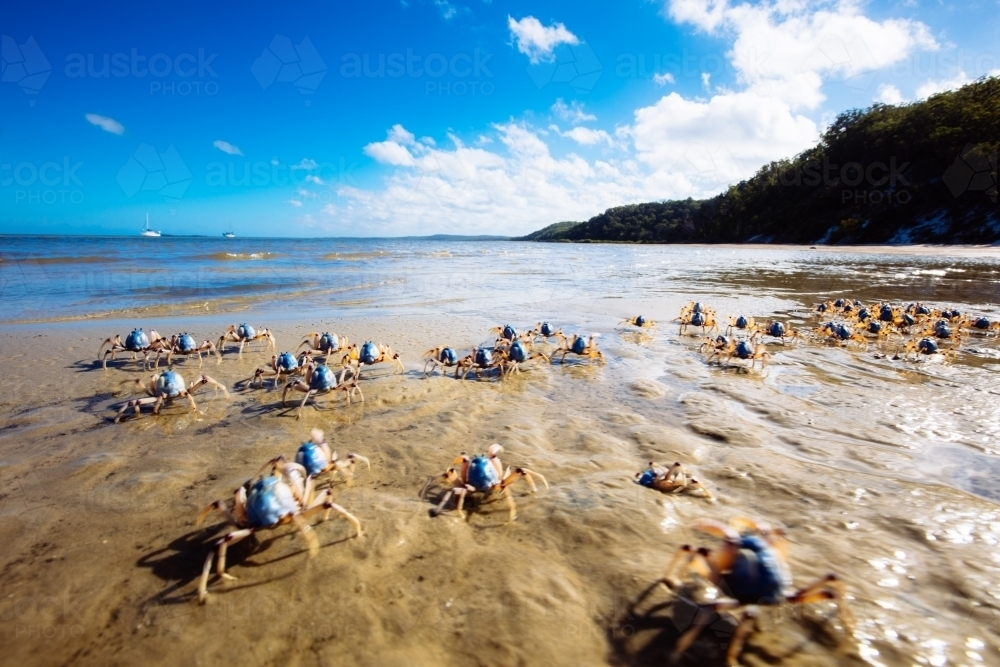 Light-blue soldier crabs moving along the beach on Fraser Island - Australian Stock Image