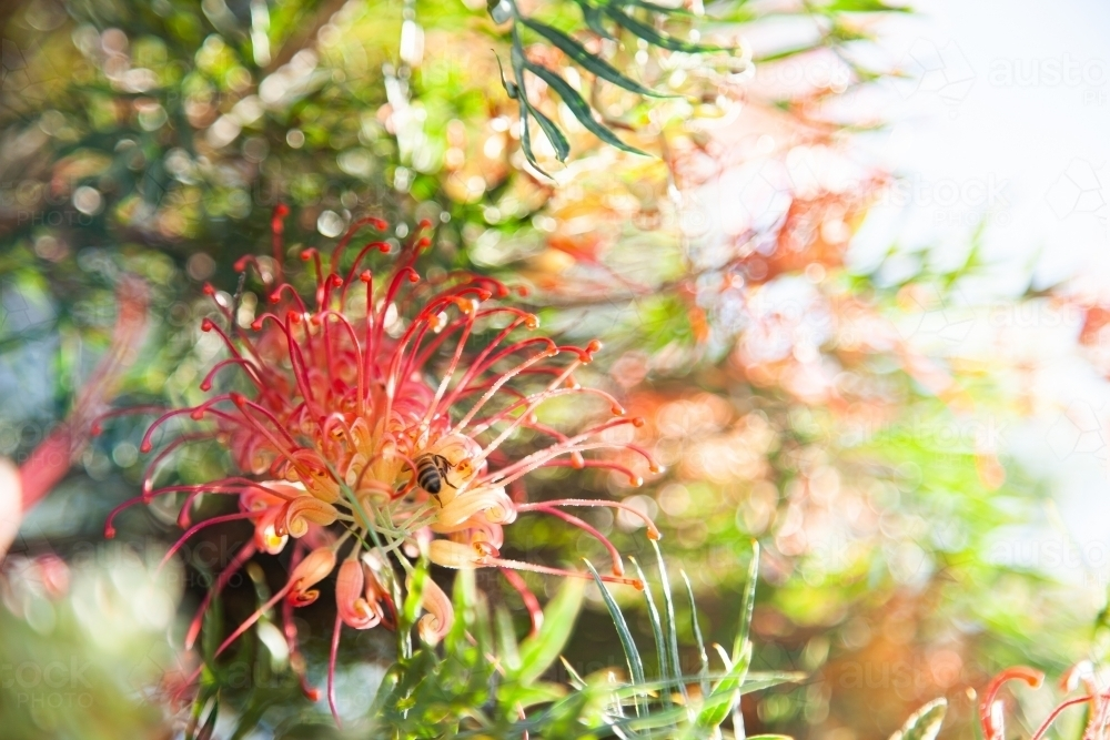 Spider flower grevillea growing on bush flowering in garden - Australian Stock Image